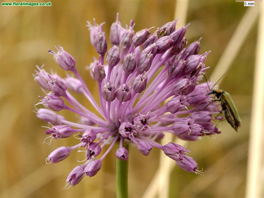 Allium vineale