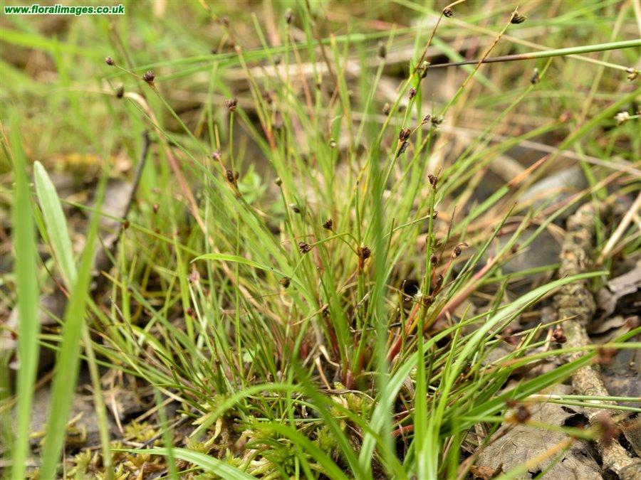Juncus bufonius, picture 4 of 5