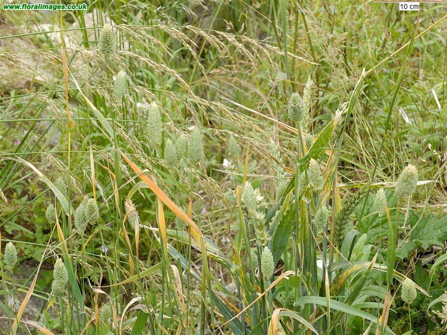 Phalaris Canariensis Phalaris canari...