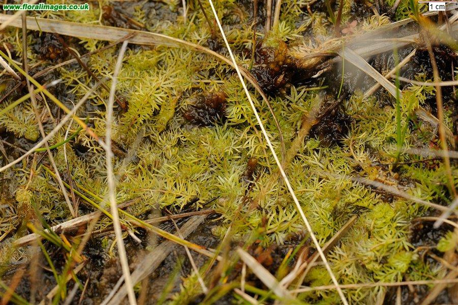Utricularia intermedia  Intermediate Bladderwort  native Utricularia Intermedia