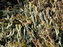 Cladonia group