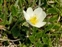 The Rose family, Rosaceae, Dryas octopetala