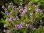 Purple flowers, Erica cinerea