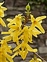 The Ash family, Oleaceae, Forsythia x intermedia