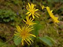 Hieracium sect. Stelligera