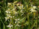 Platanthera chlorantha and bifolia