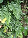 Intermediate Polypody