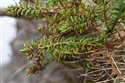 Crowberry (guest image)