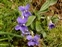 Purple flowers, Viola riviniana